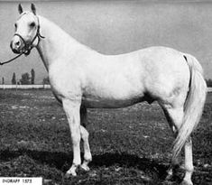 Indraff  (1938–1963) was a gray Arabian stallion, foaled on May 9, 1938 and bred by Roger Selby of Ohio.