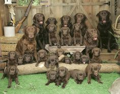 chocolate labs pictures