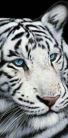 White tiger wit blue eyes