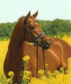 Hannoverský kůň