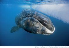 Mide cerca de 20 metros de largo, puede pesar hasta 100 toneladas (100 mil kilos) y pasa la mayor parte de su vida en las aguas heladas del Ártico. El mamífero más longevo que guarda el secreto de la juventud www.20minutospordia.com #boreal #whale #deep #20minutospordia