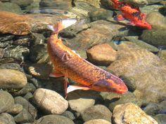 Peixe Carpa