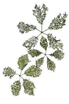lace leaves   STILL (mary jo hoffman)