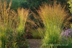 molinia caerulea skyracer - making my list of dramatic for 2016
