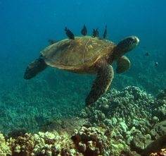 "Green Sea Turtle at the ""Cleaning Station"" Animals Beautiful, Cute Animals, Save The Sea Turtles, Under The Ocean, Tortoise Turtle, Power Animal, Cute Turtles, Turtle Love, Tortoises"