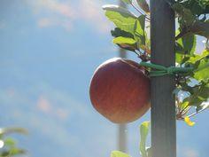 Die Apfelernte im Meraner Land