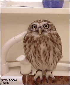 little owl gif - Szukaj w Google