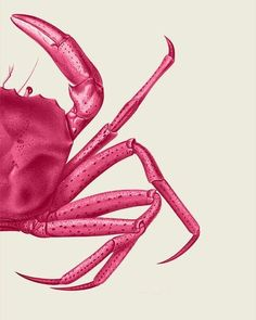 illustration pink crab