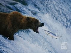 A Grizzly Bear Opens Wide for a Mouth Full of Salmon at the Brooks Falls Fishing Grounds Photographic Print by Joel Sartore at Art.com