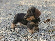 Jade own Willow Springs Dachshund on Facebook