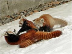 Three-way tussle, red panda boy cubs playing and pouncing on mom. Red Pandas are not bears they are marsupials. | Most Beautiful Pages