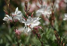 Gaura 'Whirling Butterflies' still in flower Wild Ginger, Fire Pit Area, White Gardens, Flowers Perennials, Make It Through, Autumn Inspiration, Natural History, Blush Pink, Grass