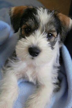 Merle ms-- This is adorable. What is it? A schnauzer/jack russell mix?