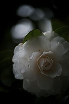 Mom always grew Camelia's and the blooming season, we always had floating camelias on the tables. Miss you mom.x
