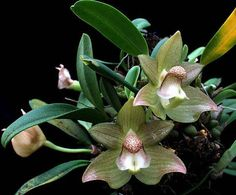 Bulbophyllum transarisanense,orchid  plant,blooming size,new