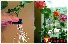 Jediná vetvička vám zaplní celý kvetináč: Čínsku ružu už nikdy nekúpite v kvetinárstve, toto je najjednoduchší spôsob, ako ju rozmnožiť! Plant Hanger, Projects To Try, Herbs, Gardening, Flowers, Ideas, Plants, Hacks, Hydroponics