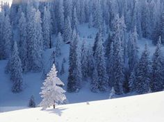 Beautiful Trees Covered With Snow