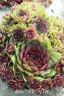 Red Rubin Hens and Chicks  Sempervivum 'Red Rubin'  Mounding evergreen perennial boasts large burgundy-red petals that form rosettes around emerging green centers. Thrives in well-drained soil. Drought tolerant once established.    Cold hardiness zones: 4 - 9    Light needs: Full sun    Water Needs: Once established, needs only occasional watering.    Average landscape size: Slow spreader to 4 to 6 in. tall, 12 in. wide.    Growth rate: Slow