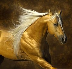 "Akhal-teke. The metallic sheen is caused by the unusual structure of the hairs, which act as an optic fibre reflecting the light. Truly a ""golden"""