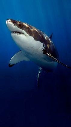 I LOVE Shark movies & Shark week! Animals Beautiful, Cute Animals, Beautiful Creatures, Shark Photos, Shark Pictures, Fauna Marina, Underwater Creatures, Animal Jam, Great White Shark