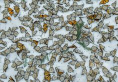 Monarch butterflies cover the forest floor of the Rosario butterfly sanctuary in Michoacán, Mexico Photograph: Jaime Rojo/EPA