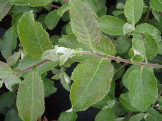 Salix caprea - Sälg