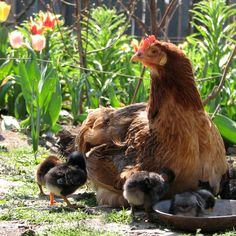12 Chicken-Friendly Plants To Grow Next To Coops Pet Chickens, Chickens Backyard, Little Barn, Rabbit Hutches, Coops, Beautiful World, Animal Kingdom, Animals And Pets, Kittens