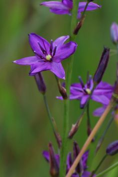 Arthropodium strictum), commonly known as chocolate… Australian Wildflowers, Australian Native Flowers, Australian Plants, Australian Native Garden, Pictures Of Lily, Different Plants, Planting Flowers, Flowers Garden, Pretty Flowers