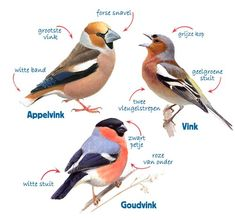 Tuinvogeltelling 2020 | Herkenningstips Animals And Pets, Cute Animals, Bird Identification, Diy Bird Feeder, Bird Illustration, Bird Drawings, Zoology, Bird Prints, Exotic Pets