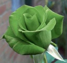 5 GREEN ROSE Rosa Bush Shrub Perennial Flower Seeds *Comb S/H one of the product images has a watermark :D Beautiful Rose Flowers, Exotic Flowers, Green Flowers, Exotic Plants, Green Plants, Flowers Perennials, Planting Flowers, Flowering Plants, Ronsard Rose