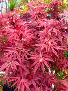 5 Tips You Should Know About Building Ponds – My Best Rock Landscaping Ideas Japanese Maple Varieties, Japanese Maple Bonsai, Japanese Red Maple, Pond Landscaping, Landscaping With Rocks, Flowering Cherry Tree, Tree Seedlings, Natural Pond, Backyard Water Feature