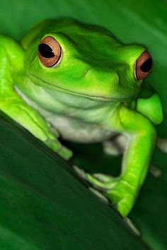 Chinese Gliding Tree Frog by andy, via Flickr