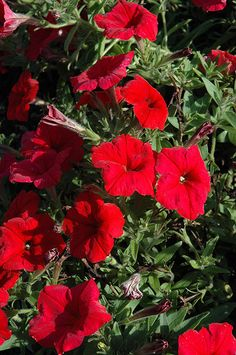 70 Petunia Pretty Flora Red Live Plants Plugs Patio Home Garden DIY Planters 356 Patio Planters, Live Plants, Petunias, Cool Items, Flora, Home And Garden, Pretty, Plugs, Red