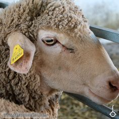 Oveja de la raza Merino Goats, Animals, Sheep, Cattle, Animales, Animaux, Animal, Animais, Goat