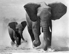 Elephants #elephants