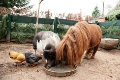 a pot bellied pig a mini horse and some chickens in the city