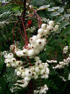 Jarzębina biała na pniu -Sorbus koehneana na pniu