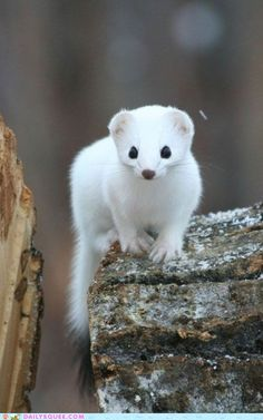 That's a good lookin' weasel.