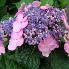 Hydrangea Macrophylla Twist N Shout 1