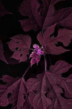 Autumns plum purple