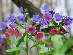 Pulmonaria officinalis. Woodland plant, spring flowering, likes soggy soil in…
