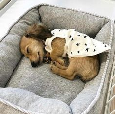 36 Incredibly Cute Animal Pictures Around The World - JustViral.Net, Top 36 Incredibly Cute Animal Pictures Around The World - JustViral.Net, Top 36 Incredibly Cute Animal Pictures Around The World - JustViral. Dachshund Puppies, Cute Puppies, Cute Dogs, Dogs And Puppies, Dachshunds, Doggies, Weenie Dogs, Daschund, Cute Funny Animals