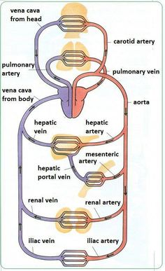 There are 3 main kinds of blood vessels – arteries, veins and capillaries. Arteries carry blood away from the heart. They divide again and again, and eventually form very tiny vessels called. Natural Remedies For Insomnia, Arteries And Veins, Health And Fitness Magazine, Health Fitness, Health Site, Structure And Function, Human Anatomy And Physiology, Medical Anatomy, Nursing Notes