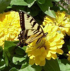 https://flic.kr/p/2X8txu | Yellow on Yellow | Tiger Swallowtail finally landed on some flowers in a rock/flower garden.