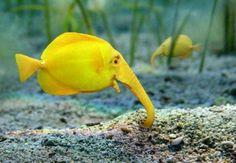 Elephant Fish - Amazing and funny!