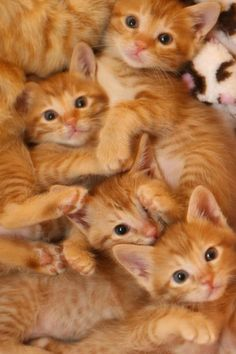 .Beautiful orange kittens!