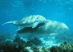 Dugong - Mammals of Australia - Wikipedia, the free encyclopedia