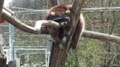 Mosómedve  #raccoon #mosómedve