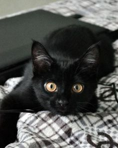 This looks like my new kitten Isabella, So cute. I will post a pick of her soon. --Jade - Black Kitten with big gold eyes