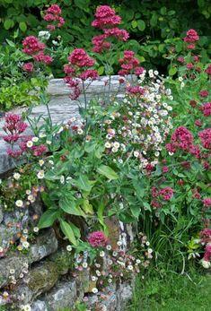 Selv op ad en mur eller i et stenbed kan man lave det naturlige look. Her er rød sporebaldrian sat sammen med bakkestjerne (se den her). Sporebaldrian kan købes på planteskoler og kan gro på de mest tørre og ellers umulige steder.